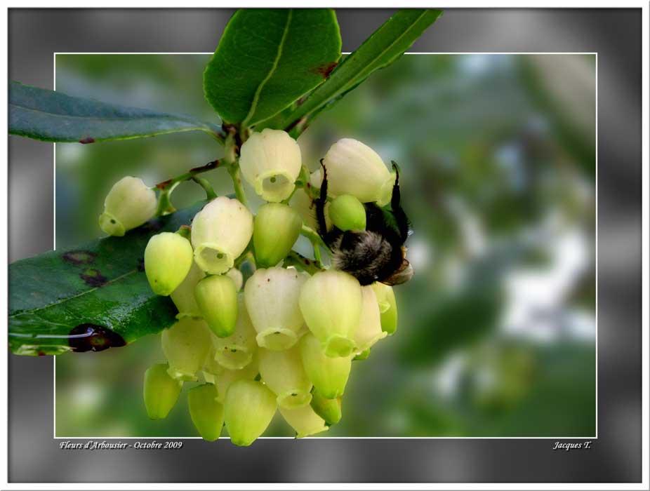 Fleur d'Arbousier
