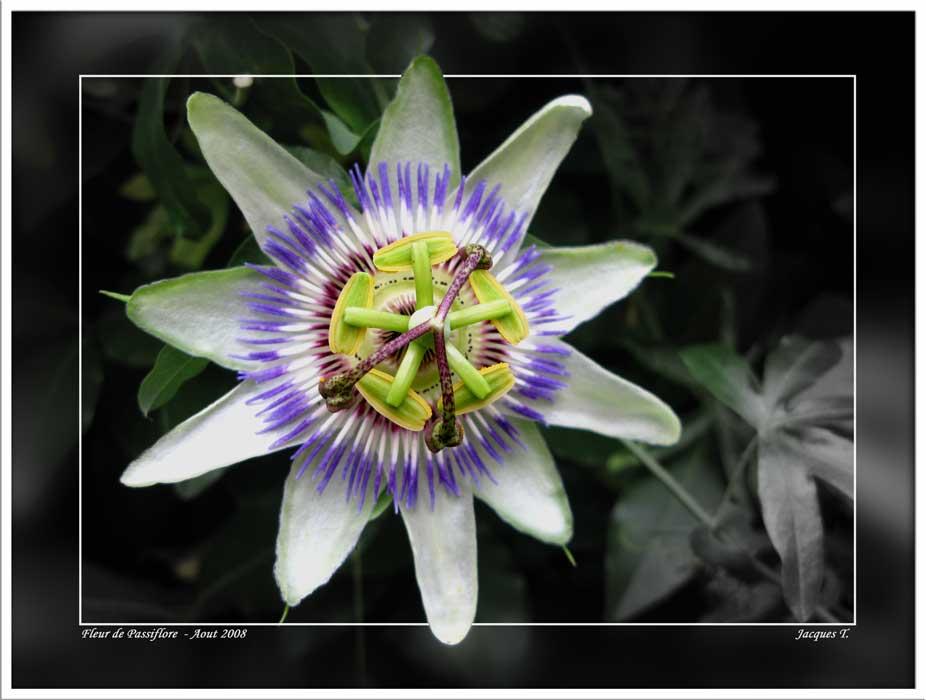 Passiflore ou fleur de la passion