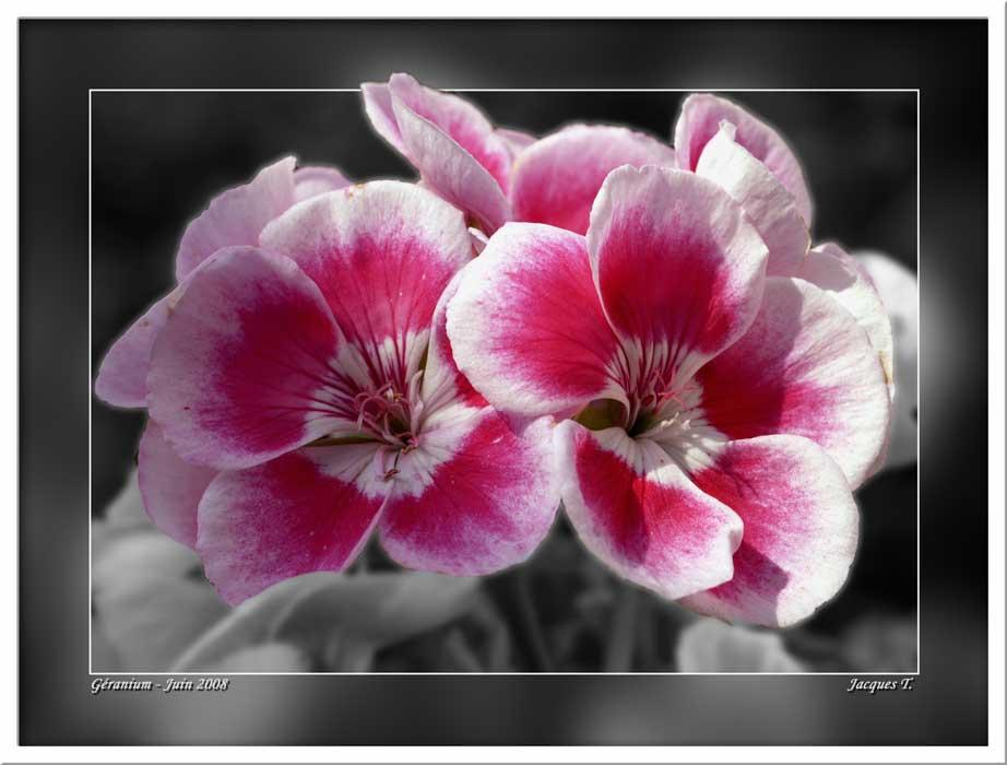 Géranium des fleuristes ou Pélargonium