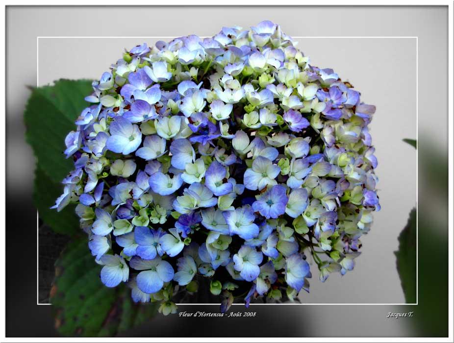 Hortensia ou Hydrangea