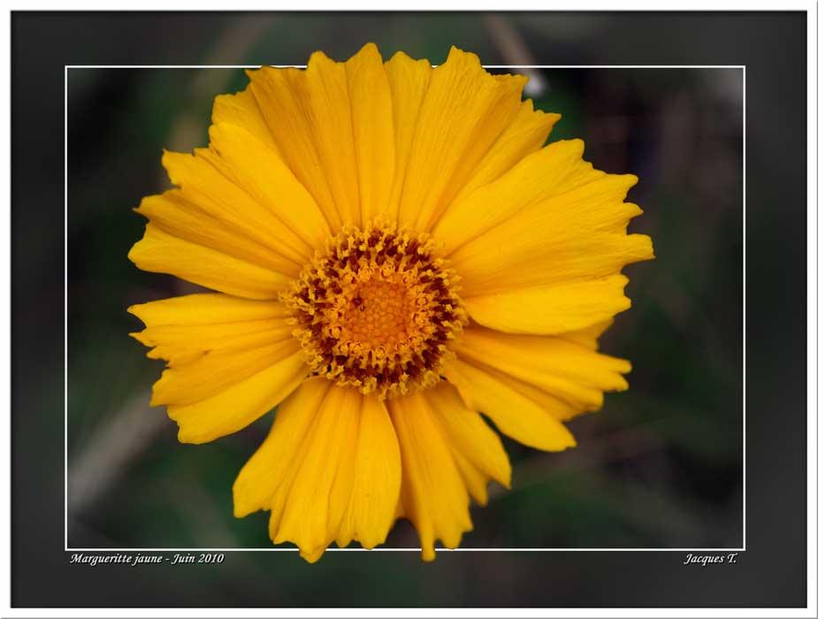 Marguerite Gerbera jaune