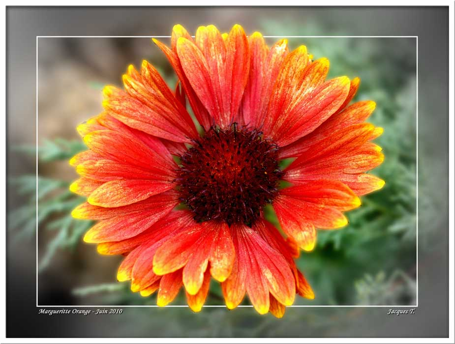 Marguerite Gerbera orange