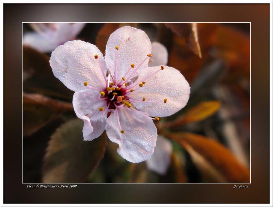 Fleur de Brugnonier
