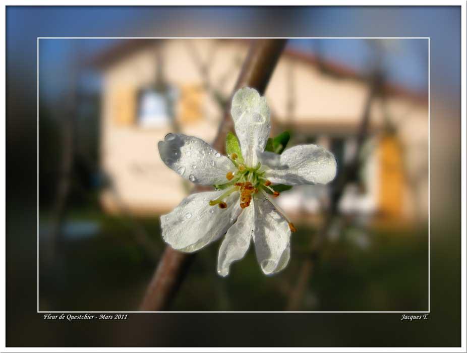 Fleur de Prunier de Damas