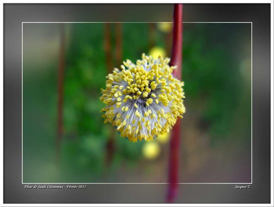 Fleur de Saule cotonneux