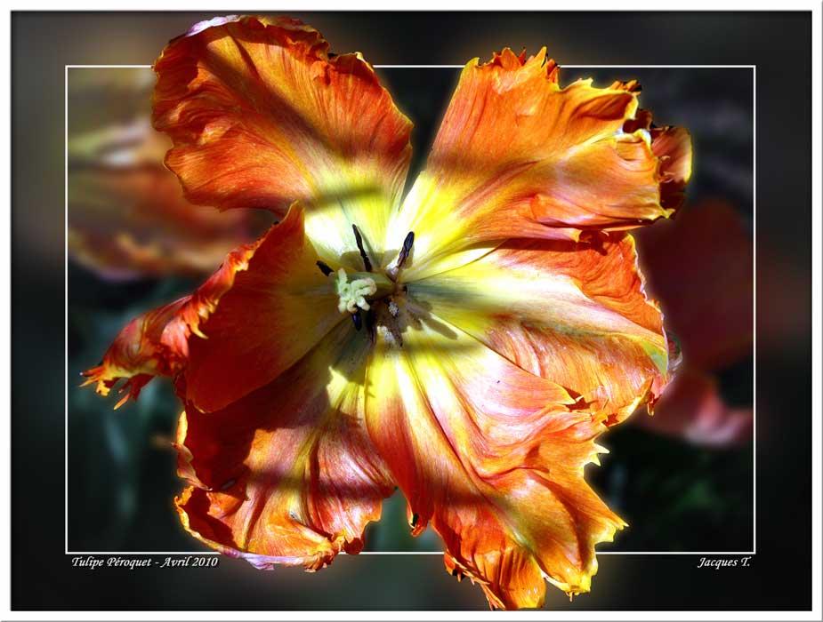 Tulipe Péroquet