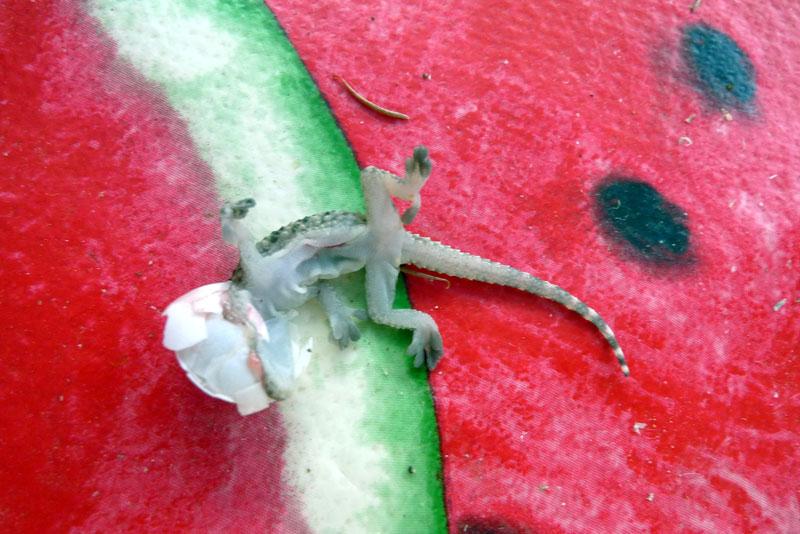 Gecko-Tarente-de-Maurétanie naissance (1).jpg