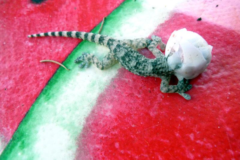 Gecko-Tarente-de-Maurétanie naissance (2).jpg