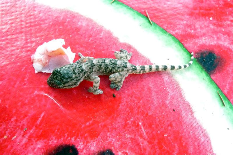 Gecko-Tarente-de-Maurétanie naissance (3).jpg