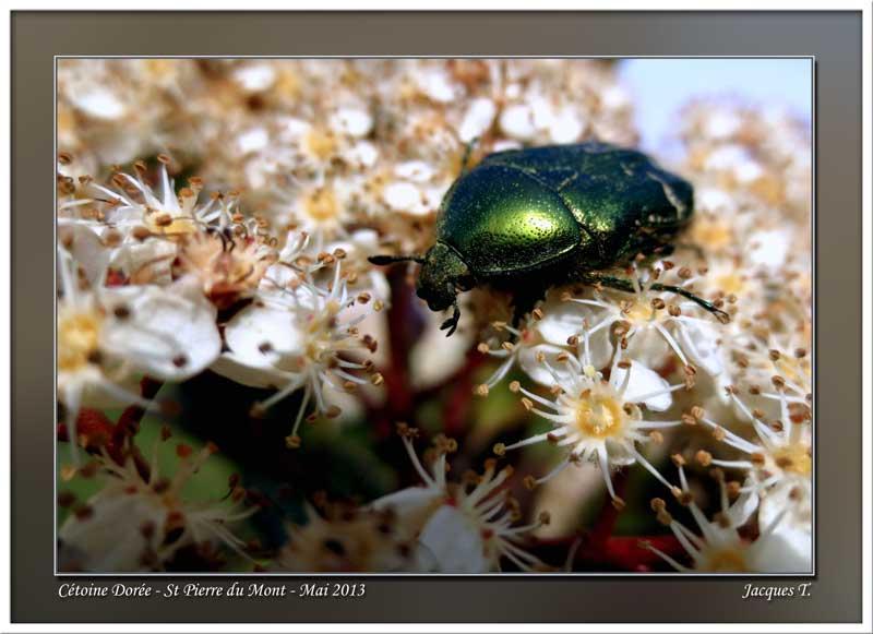 Monde animal Insectes cétoine dorée (2)