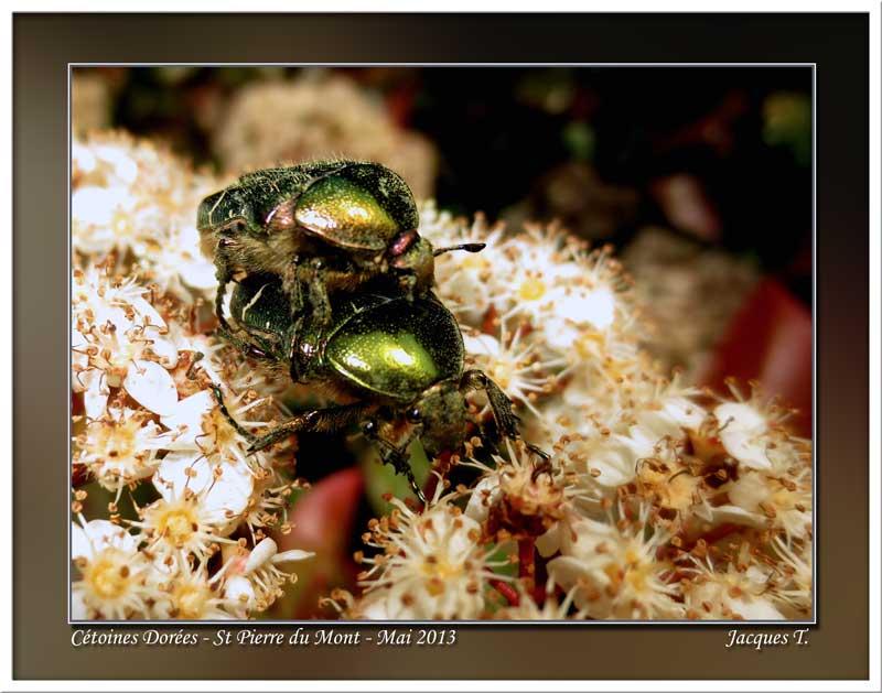 Monde animal Insectes cétoine dorée (3)