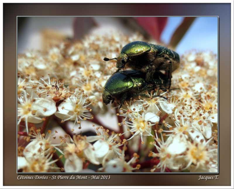 Monde animal Insectes cétoine dorée (5)