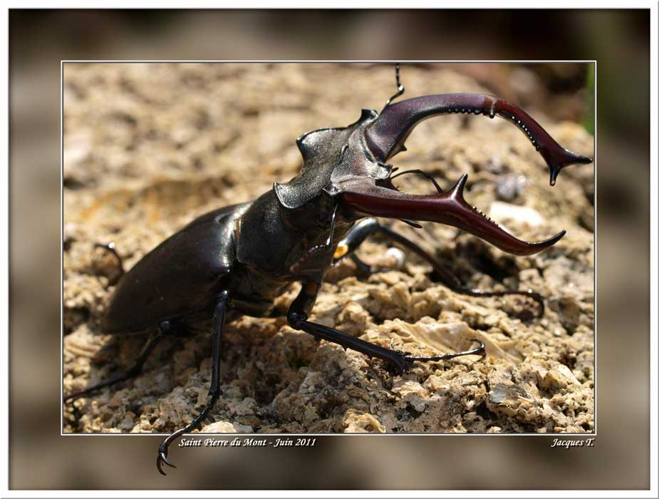 Monde Animal Insectes Coléoptères Lucane