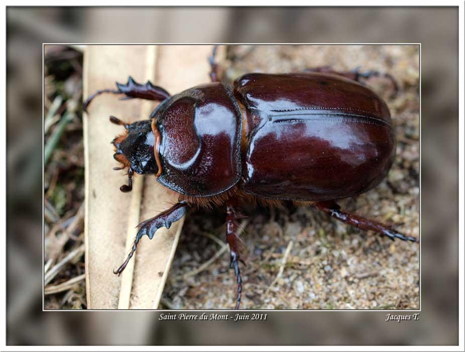 Monde Animal Insectes Coléoptères Scarabe Rhinocéroce
