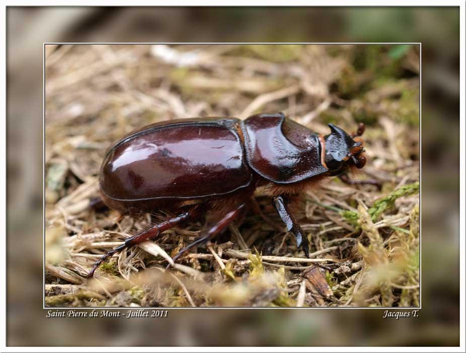 Monde Animal Insectes Coléoptères Scarabé Rhinocéroce