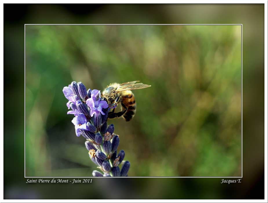 Monde Animal Insectes Hyménoptères Abeille Mélifère