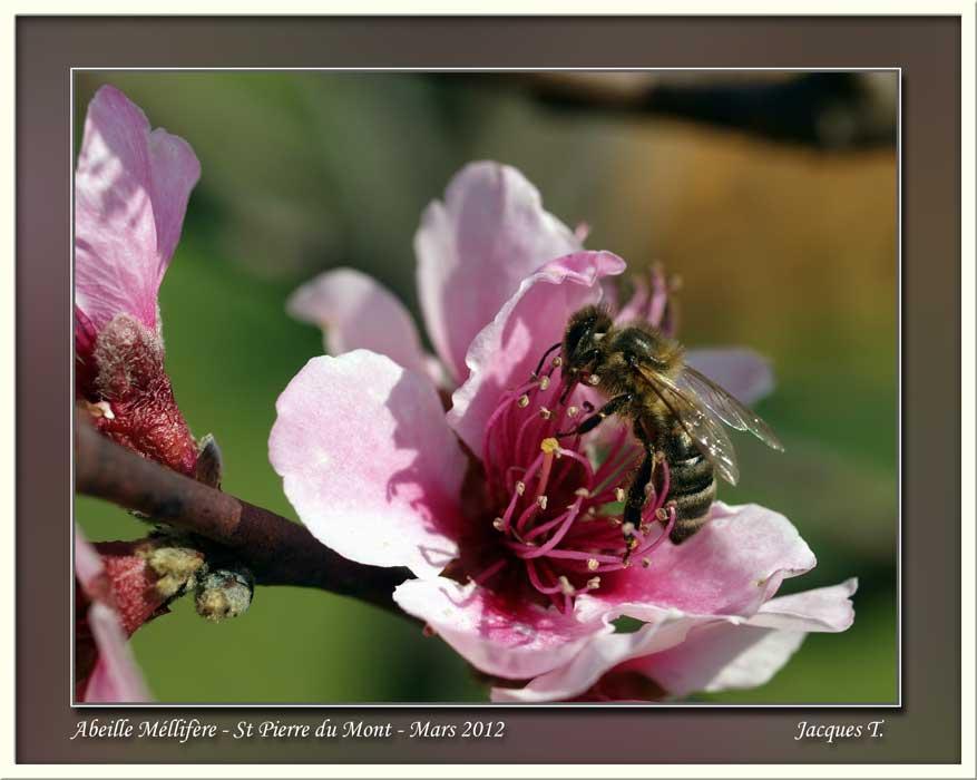 Monde Animal Insectes Abeilles Méllifères (53)