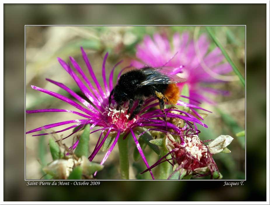 Monde Animal Insectes Hyménoptères Bourdon