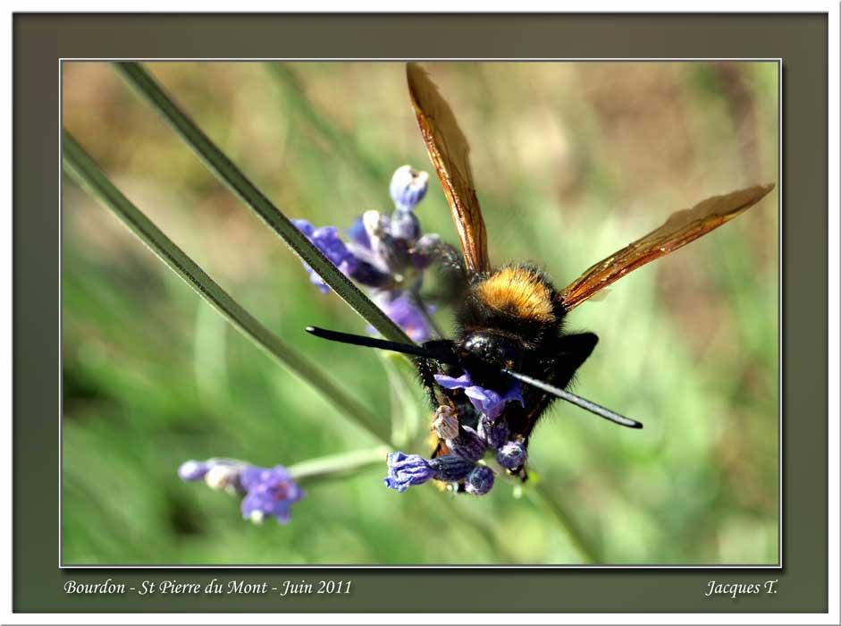 Monde Animal Insectes Bourdons (55)