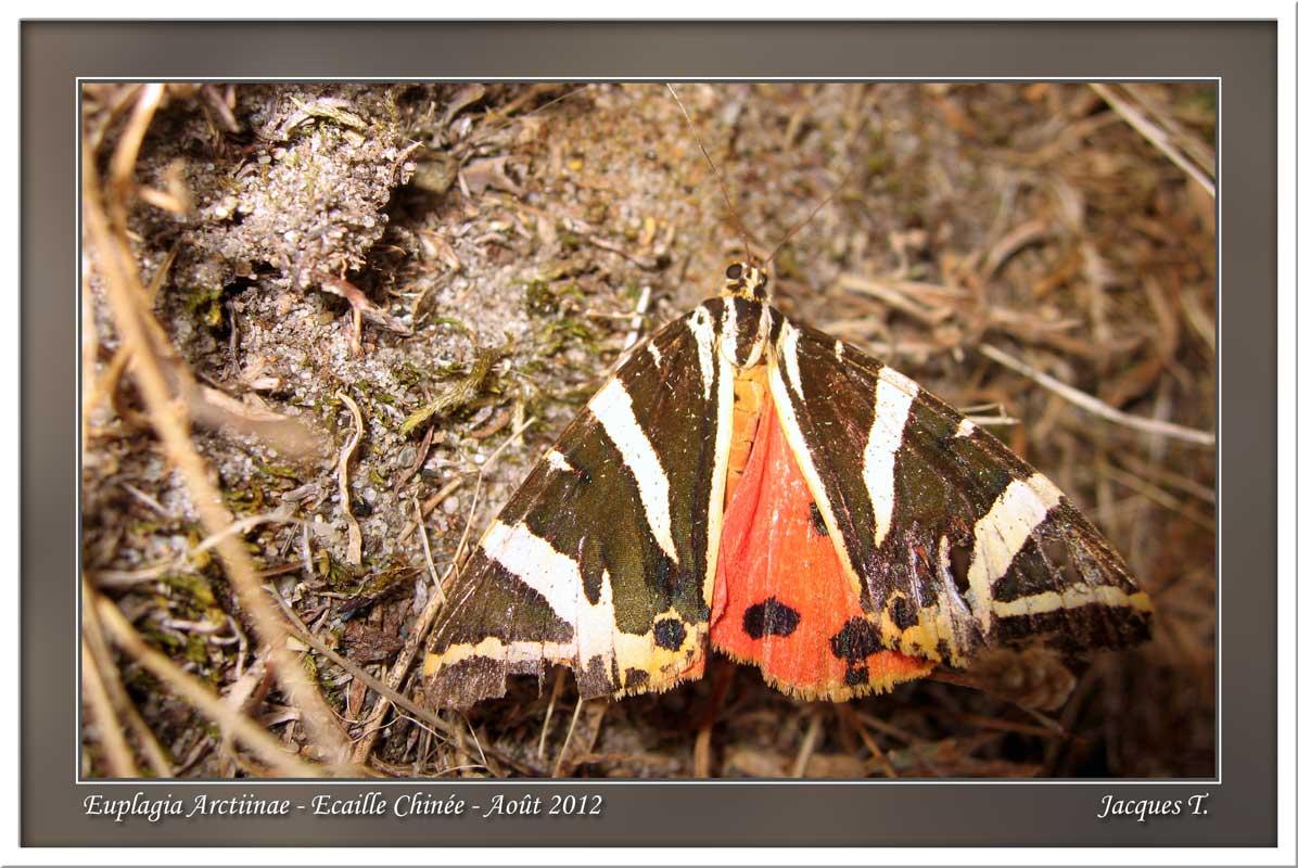 Monde animal insectes lépidoptères papillons (1)