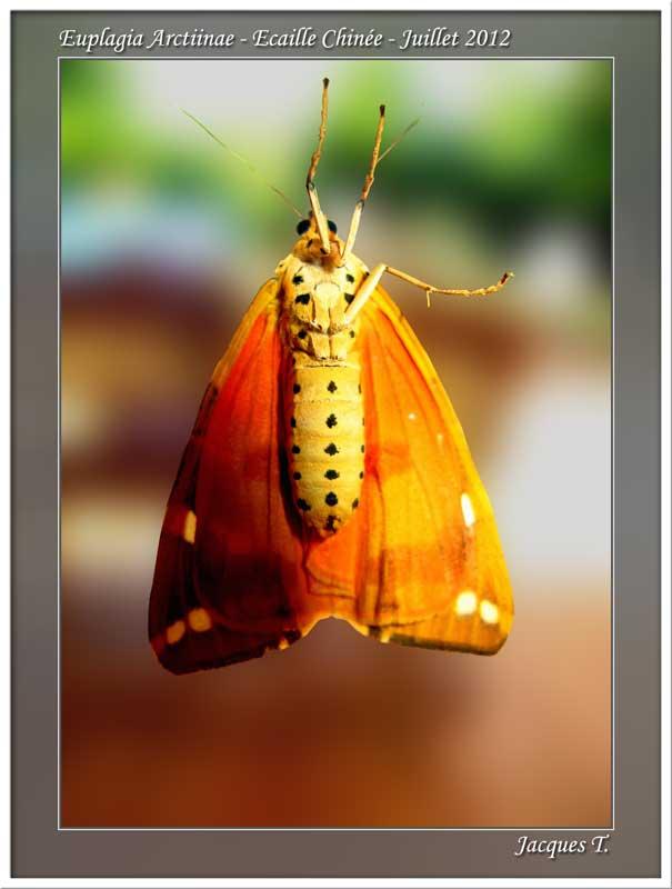 Monde animal insectes lépidoptères papillons (2)