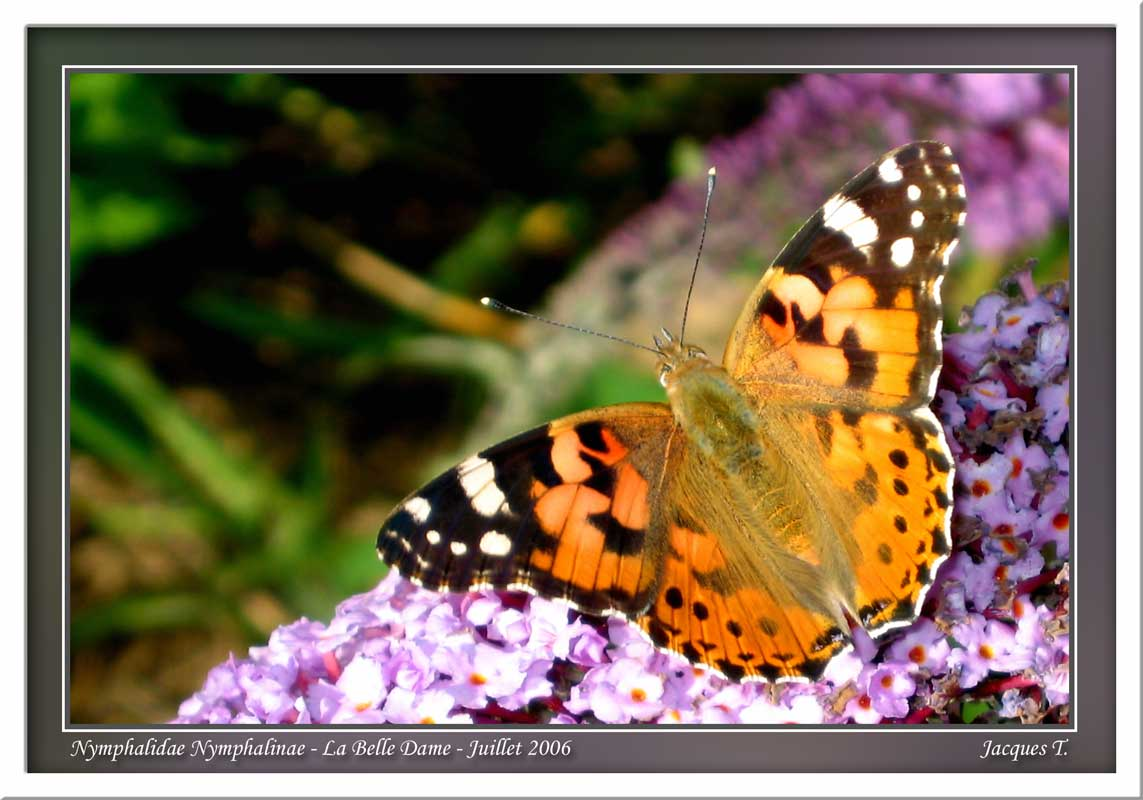 Monde animal insectes lépidoptères papillons (3)