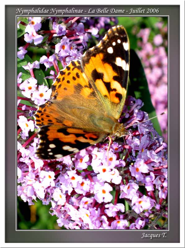 Monde animal insectes lépidoptères papillons (4)
