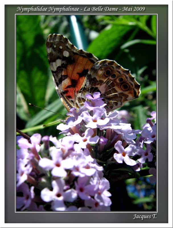 Monde animal insectes lépidoptères papillons (5)