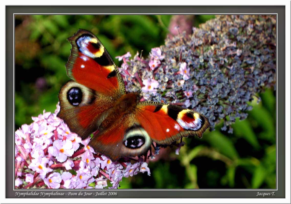 Monde animal insectes lépidoptères papillons (6)