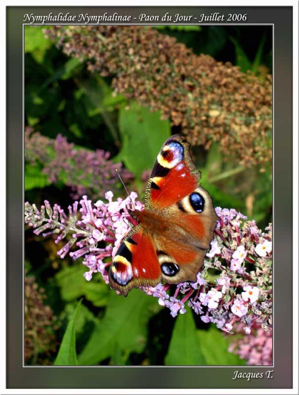 Monde animal insectes lépidoptères papillons (7)