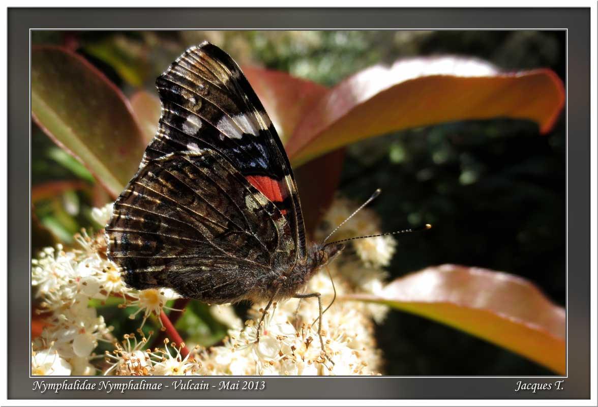 Monde animal insectes lépidoptères papillons (8)