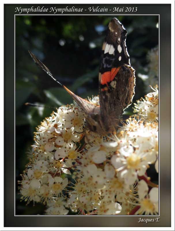 Monde animal insectes lépidoptères papillons (9)