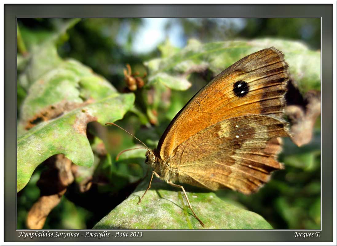 Monde animal insectes lépidoptères papillons (10)