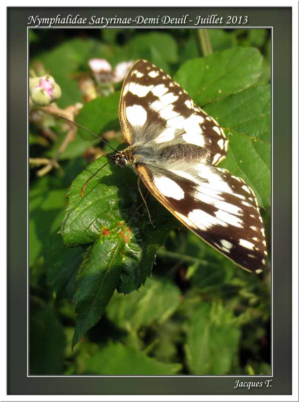 Monde animal insectes lépidoptères papillons (11)