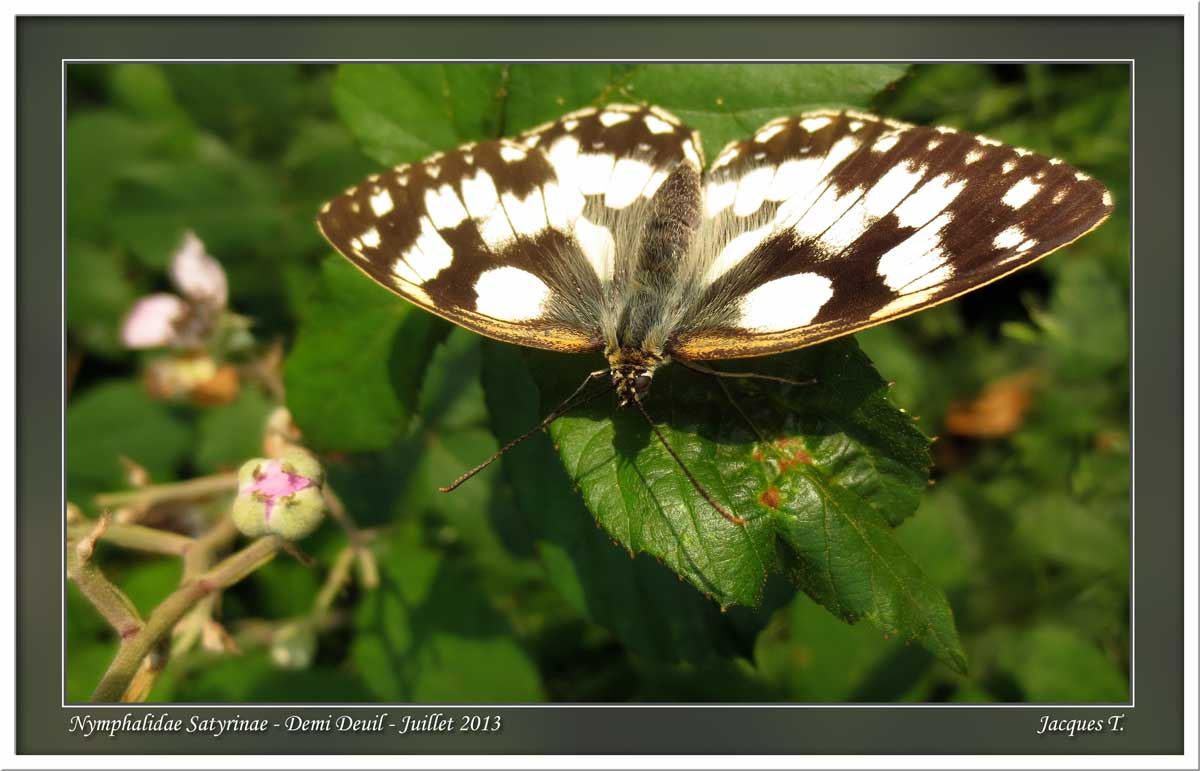 Monde animal insectes lépidoptères papillons (12)
