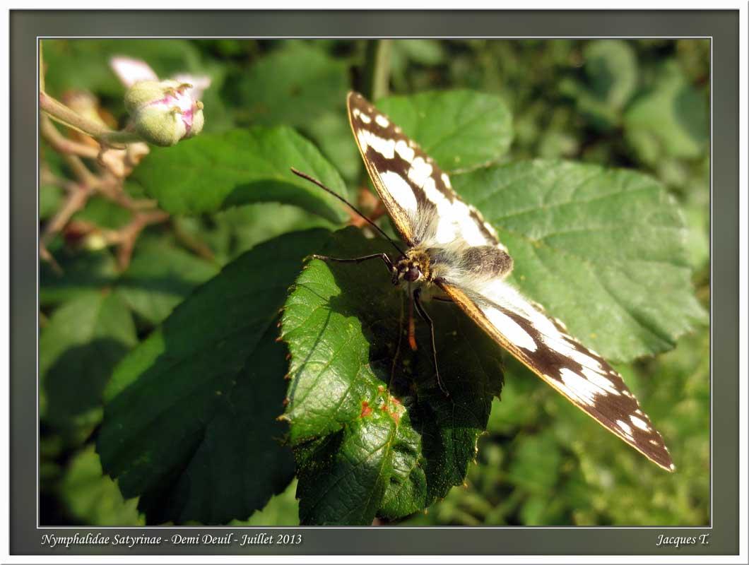 Monde animal insectes lépidoptères papillons (13)