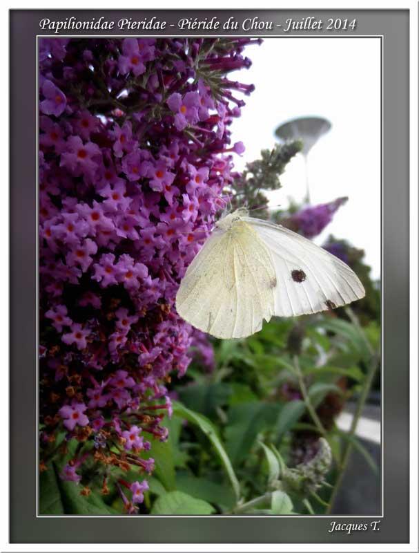 Monde animal insectes lépidoptères papillons (14)