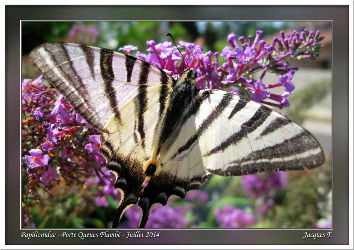 Monde animal insectes lépidoptères papillons (17)