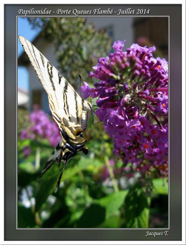 Monde animal insectes lépidoptères papillons (15)
