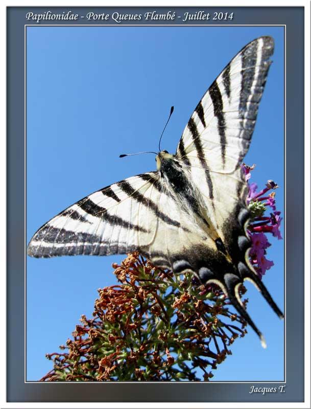 Monde animal insectes lépidoptères papillons (16)