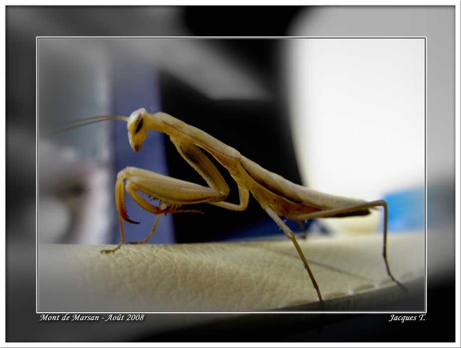 Monde Animal Insectes Orthoptères Mante Religieuse