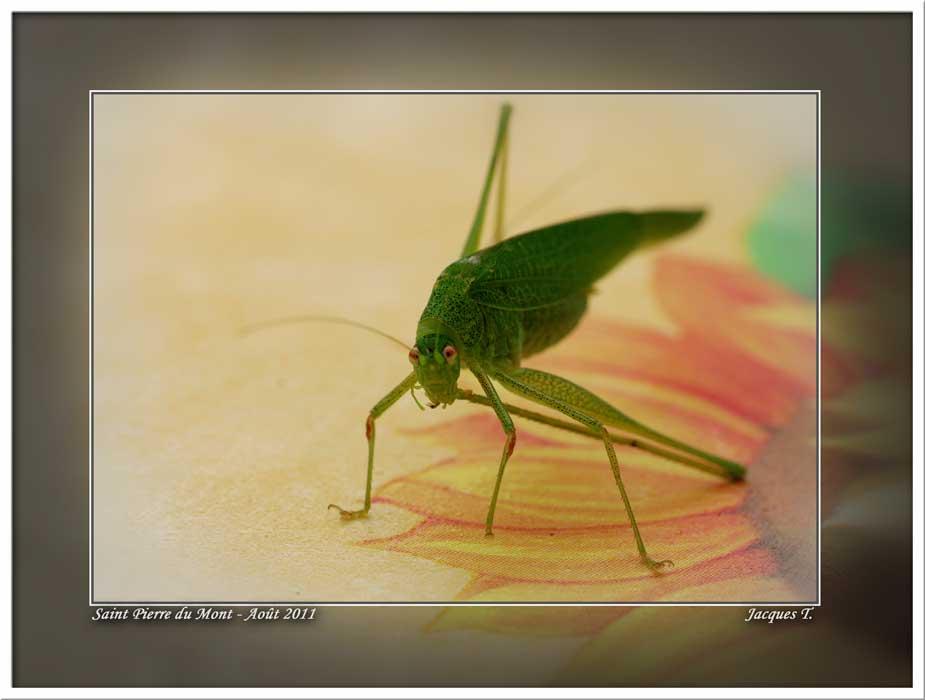 Monde Animal Insectes Orthoptères Sauterelle verte