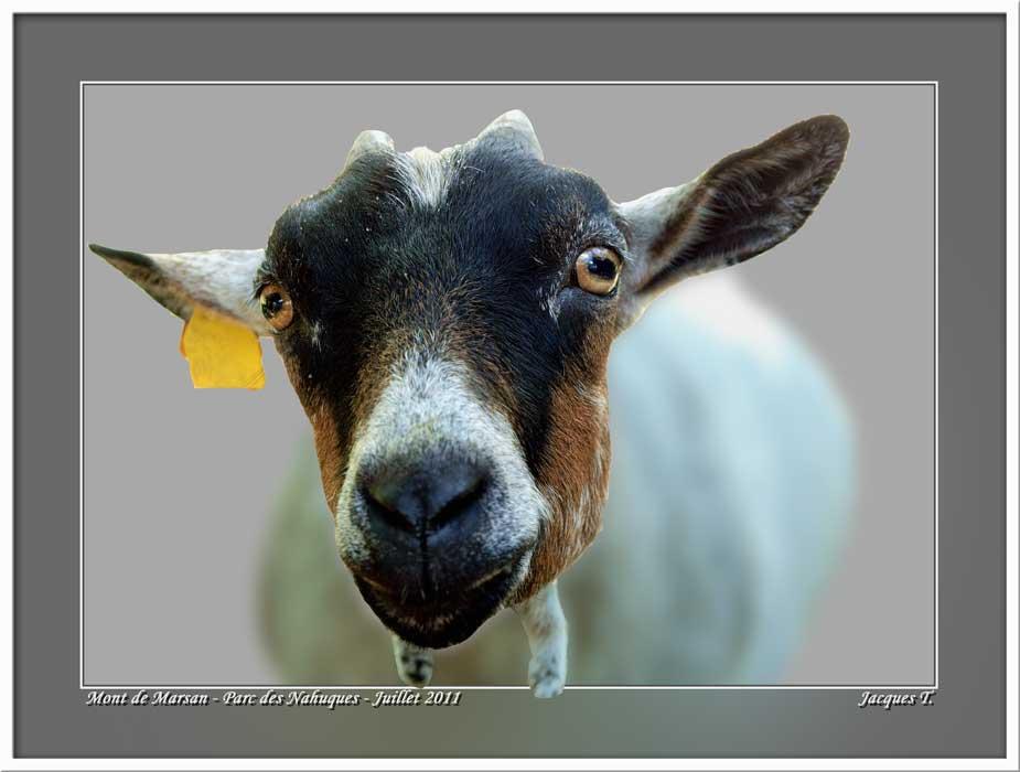 Monde Animal Mammifères Bovidés Chèvre