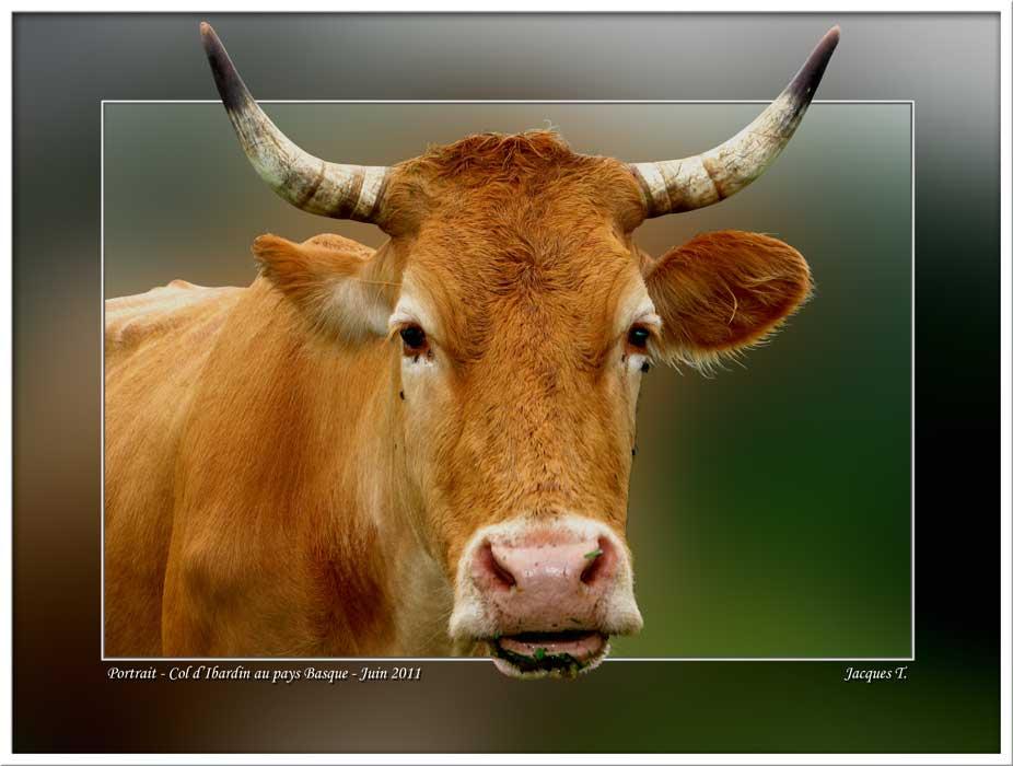 Monde Animal Mammifères Bovidés Vache
