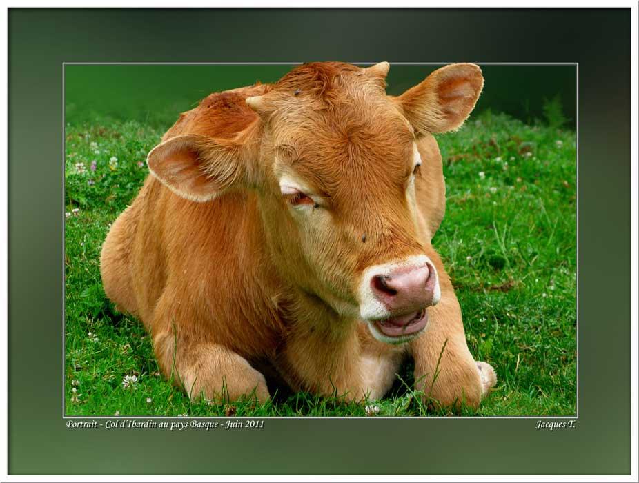 Monde Animal Mammifères Bovidés Veau