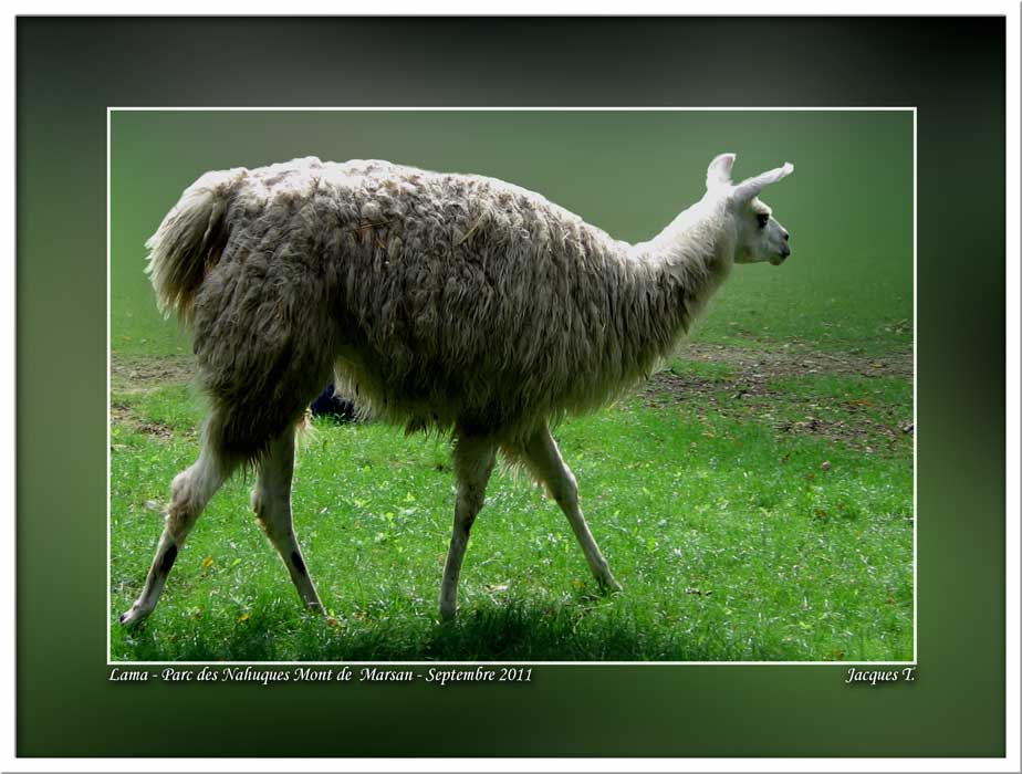 Monde Animal Mammifères Camélidés Lama