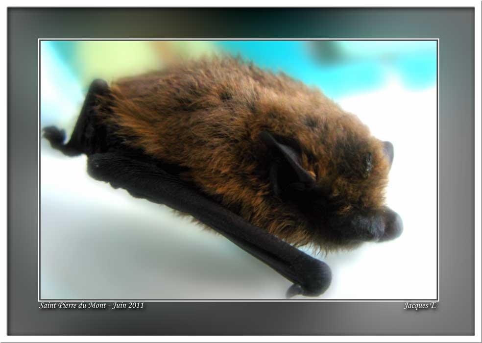 Monde Animal Mammifères Chiroptères Chauve Souris Pipistrèle