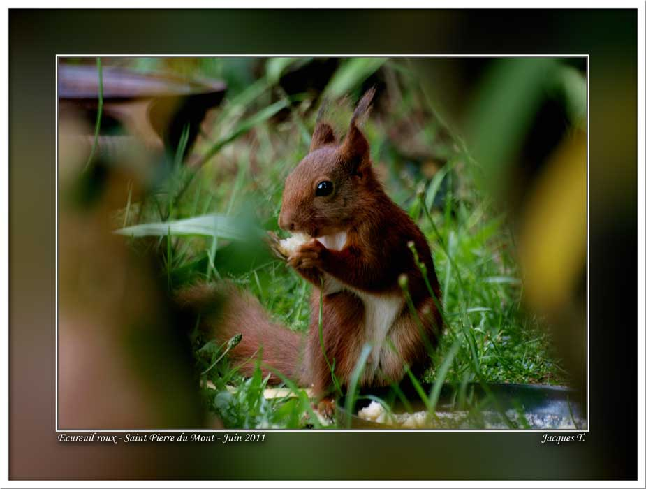 Monde Animal Mammifères Rongeurs Ecureuil