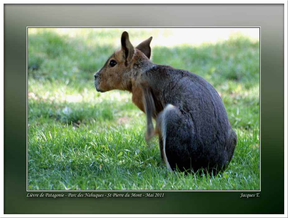 Monde Animal Mammifères Rongeurs Lièvre de Patagonie