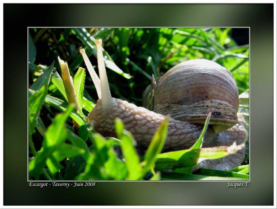 Monde Animal Mollusques Gastéropodes Escargot